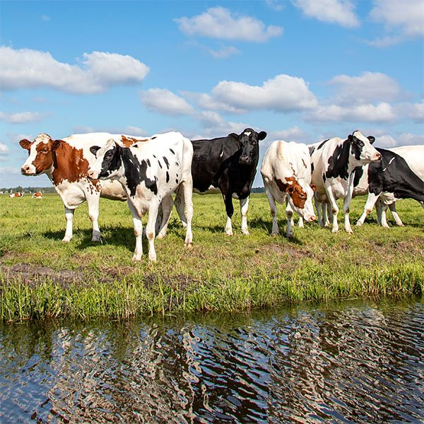 cattle_wetland_600x600